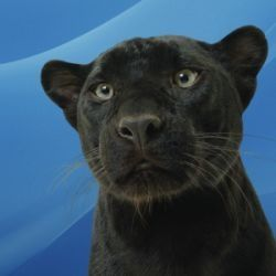 Bagheera's early life was in a cage