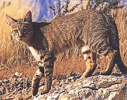 Beautiful African Wild Cat