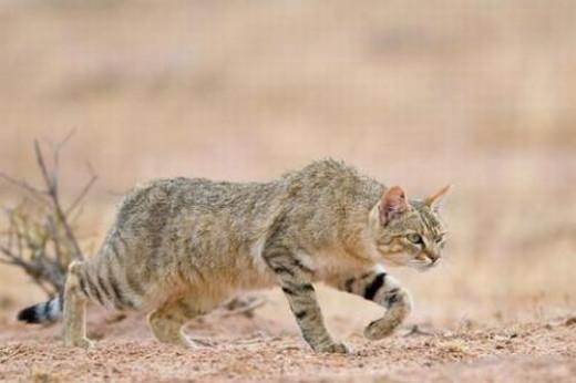Ferocious African Wild Cat