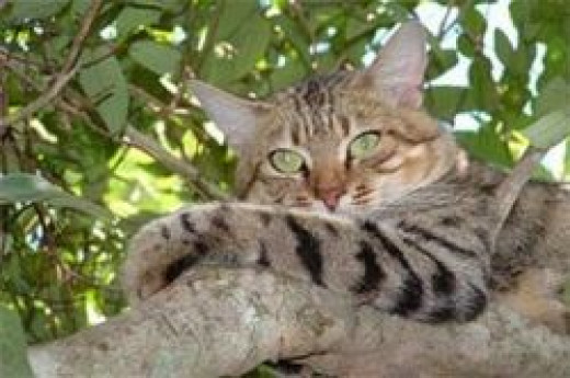 An African Wild Cat