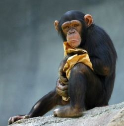 Chimpanzee clutching a blanket