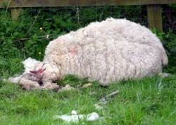 Sheep Mysteriously Mauled