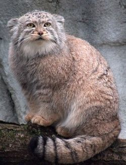 Furry Pallas Cat