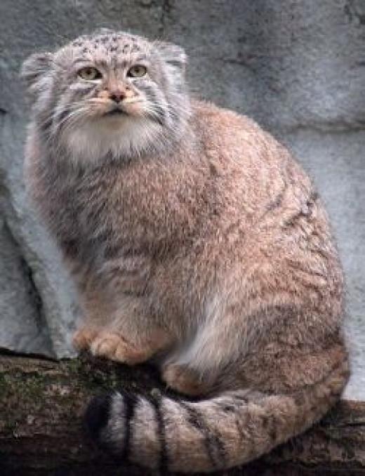 Furry Pallas Cat
