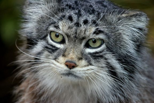 Look in the eyes of the Pallas Cat