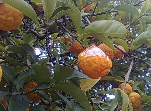 The Bush Lemon tree attacked by Possums