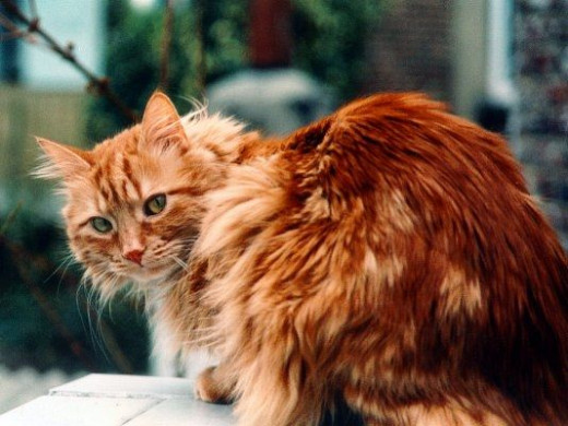 Longhair Ginger Cat needs to be careful of hairballs