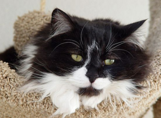 Does a longhaired Tuxedo Cat get black and white hairballs?