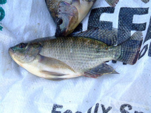Tilapia can't get much fresher than this--these two just came out of the water!