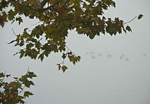 Mist upon the lake surrounds the floating ducks.