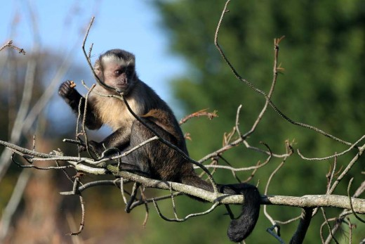 Interesting Facts! - capuchin monkey 96