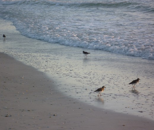 Mealtime for shore birds on Bradenton Beach