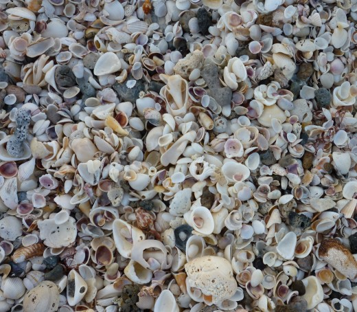 The shells aren't hard to find - they're everywhere!