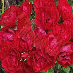 Red Roses Gifts