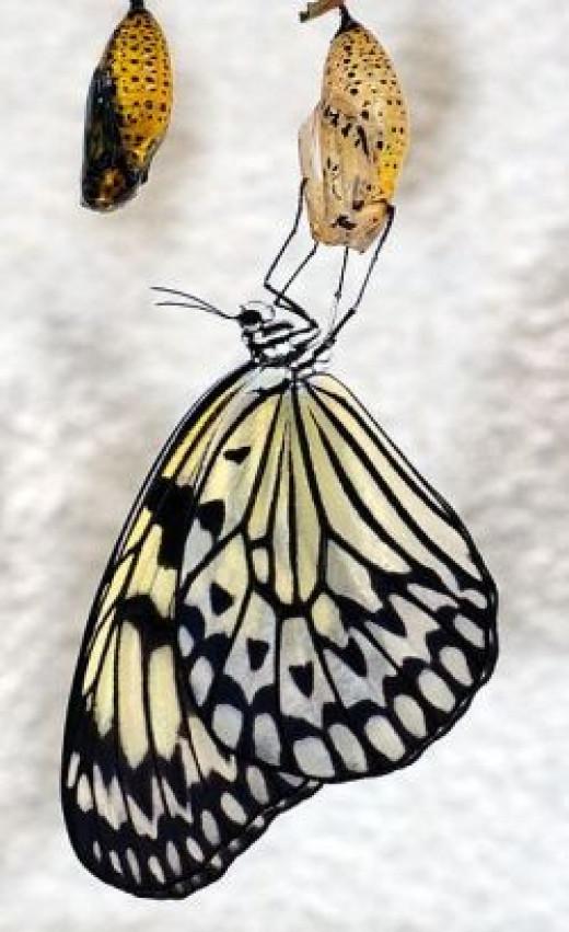 An emerging butterfly