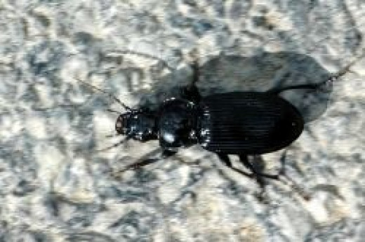 The ground beetle Pterostichus melanarius