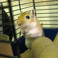 Gerbils Make Enjoyable Pets