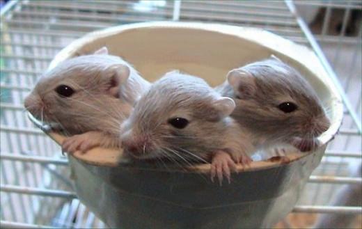 Young gerbils