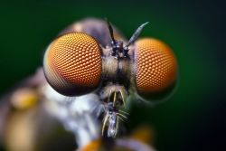 Compound eyes of a robber fly.