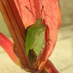 The Common Green Shield Bug
