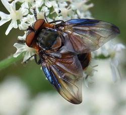 The tachinid fly Phasia hemiptera