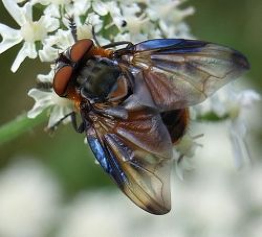 The tachinid fly Phasia hemiptera