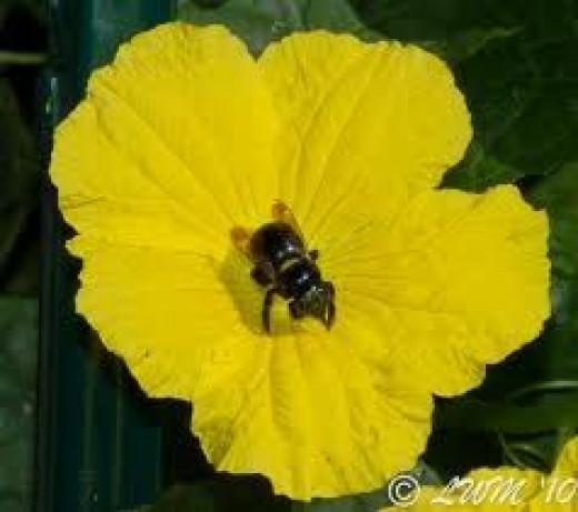 Bumblebee on luffa flower google images by butterfliesandwildlife