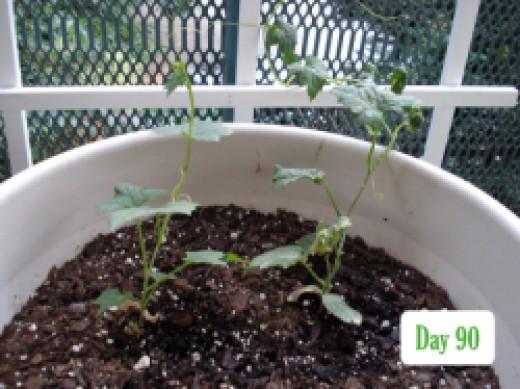 luffa 90 days in pot