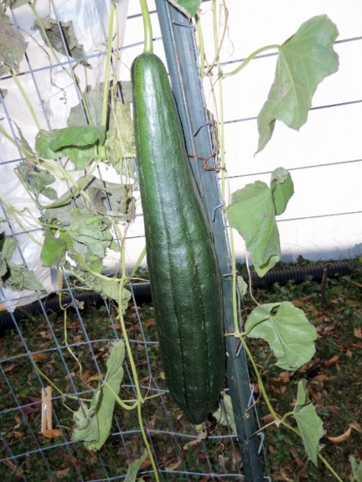 I grew these luffa plants to climb on a wire fence in several areas of my yard for the first time in 2011. Here they were almost ready to harvest.