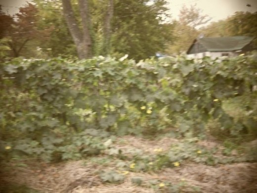 Luffa plants take off and will overtake anything around them. Sorry about the blurriness.