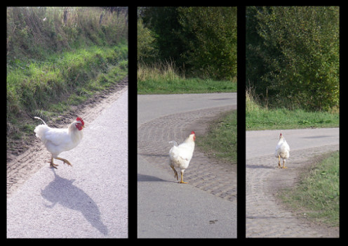 An unexpected rooster on the road