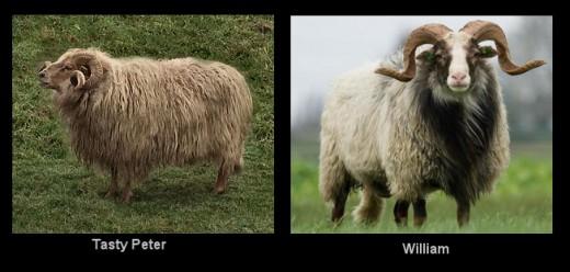 Drenthe Heath Sheep rams