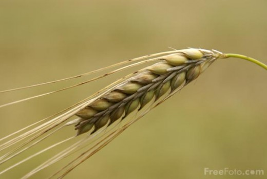 Barley in its natural state.  (image from www.freefoto.com)