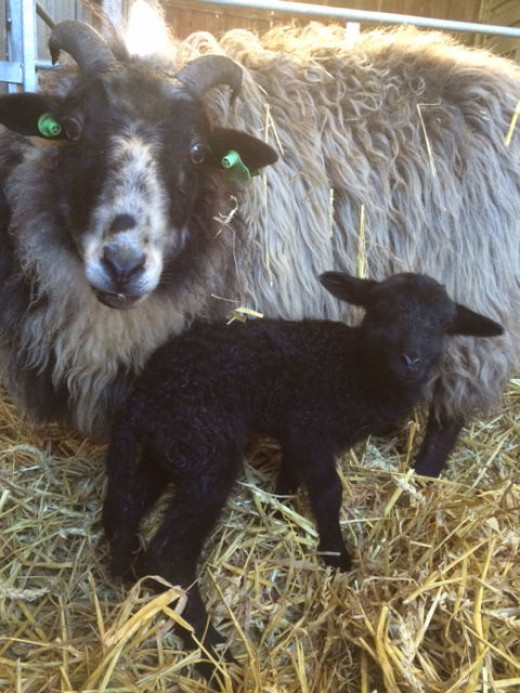 Black and White ewe with black lamb