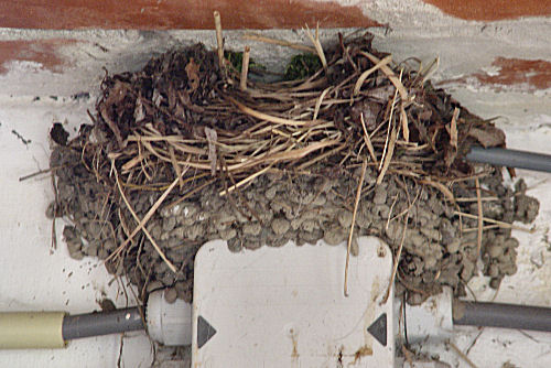 Swallow nest confiscated by Wrens