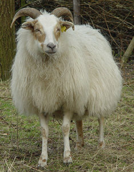 Drenthe Heath Sheep Ewe