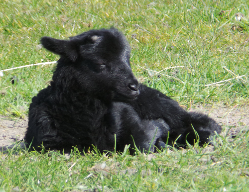 Black male lamb