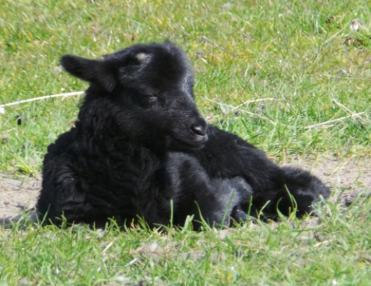 Black male lamb