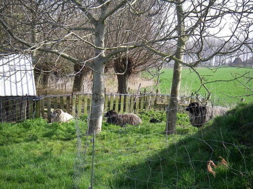 Sheep chilling in the sun