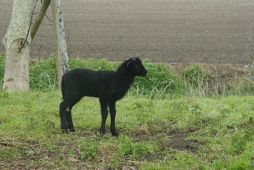 lamb Ravenko