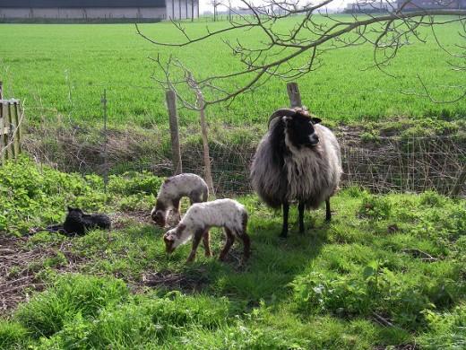 Keeping an eye on the lambs
