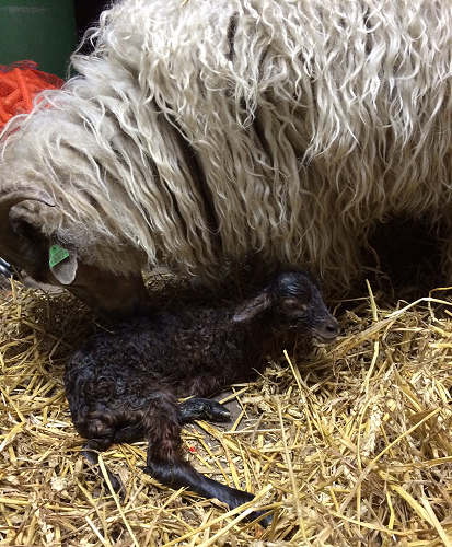 Mom Franfeluche had a very difficult delivery, it took a while before this lamb got out with the help of the breeder.
