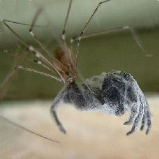 daddy long legs eats big spider