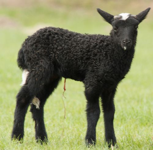 black spotted newborn lamb
