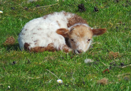 Little lamb chilling in the meadow