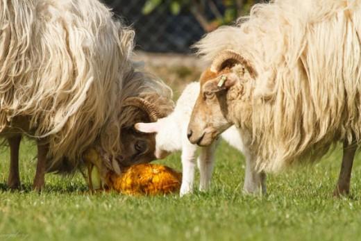 Just born lamb