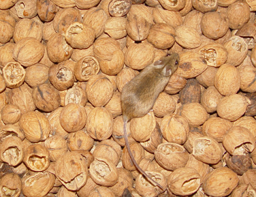 One mouse in my walnuts