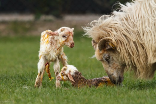 Newly born twin lambs