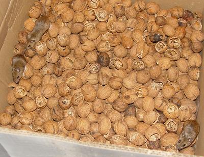 Three mice in my walnuts