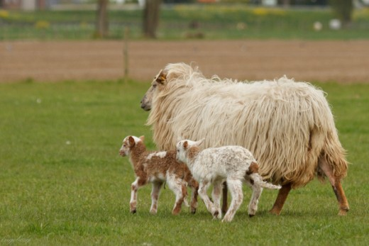 Proud mom with her two male lambs